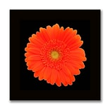 Trademark Fine Art Orange Gerber Daisy-Ready to Hang Canvas Art