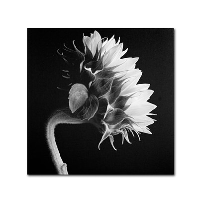 Trademark Fine Art Sunflower 35 x 35 Canvas Art
