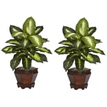 Dieffenbachia Set of 2 Plant in Pot; Golden