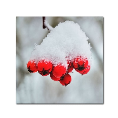 Trademark Kurt Shaffer Winter Berry Close-Up Gallery-Wrapped Canvas Art, 18 x 18