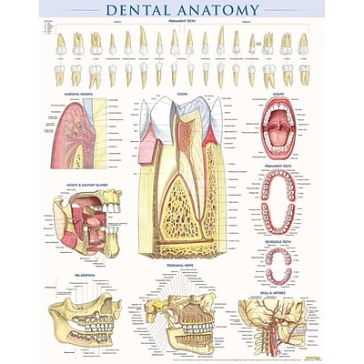 BarCharts, Inc. QuickStudy® Dental Anatomy Poster Reference Set ...