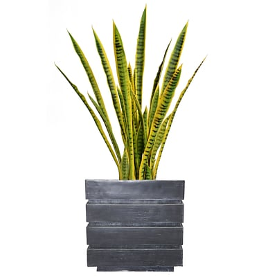 Laura Ashley 41 Tall Snake Plant in Planter (VHX121204)