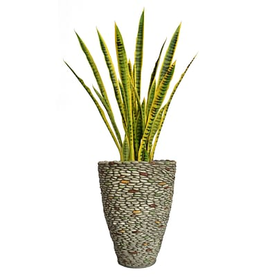 Laura Ashley 49 Tall Snake Plant in Planter (VHX121209)