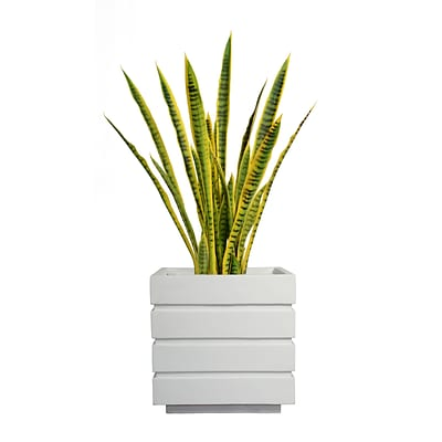 Laura Ashley 41 Tall Snake Plant in Planter (VHX121211)