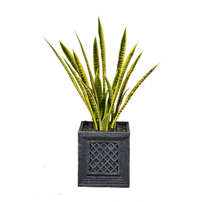 Laura Ashley 41 Tall Snake Plant in Planter (VHX121215)