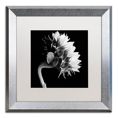 Trademark Fine Art Sunflower by Michael Harrison 16 x 16 White Matted Silver Frame (ALI0294-S1616MF)