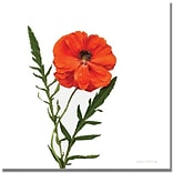 Trademark Global Kathie McCurdy Poppy Canvas Art, 18 x 18
