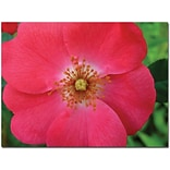 Trademark Global Kathie McCurdy Pink Rose Canvas Art, 24 x 32