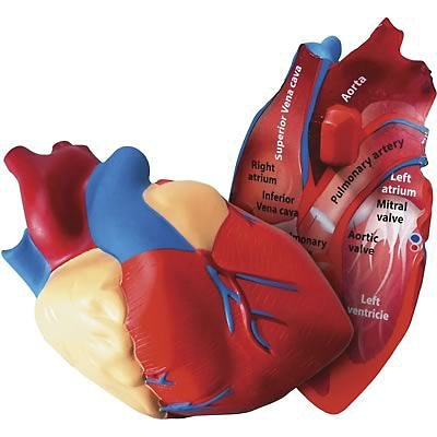 Learning Resources® Cross Section Human Heart Model