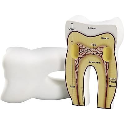 Learning Resources Cross Section Tooth Model