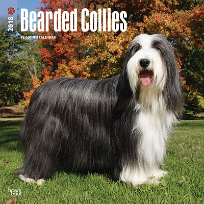 Bearded Collies 2018 12 x 12 Inch Square Wall Calendar