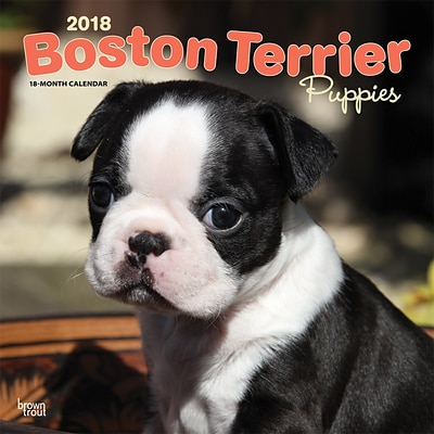 Boston Terrier Puppies 2018 12 x 12 Inch Square Wall Calendar