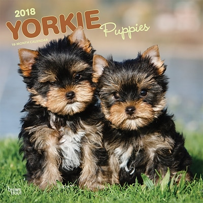 Yorkshire Terrier Puppies 2018 12 x 12 Inch Square Wall Calendar