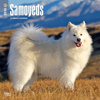 Samoyeds 2018 12 x 12 Inch Square Wall Calendar