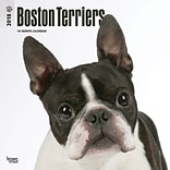 Boston Terriers 2018 12 x 12 Inch Square Wall Calendar