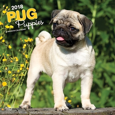 Pug Puppies 2018 12 x 12 Inch Square Wall Calendar
