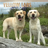 Yellow Labrador Retrievers 2018 12 x 12 Inch Square Wall Calendar with Foil Stamped Cover