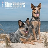 Blue Heelers 2018 12 x 12 Inch Square Wall Calendar