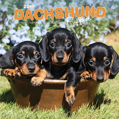 2019 Brown Trout 12 X 12 Dachshund Puppies Monthly Square Wall