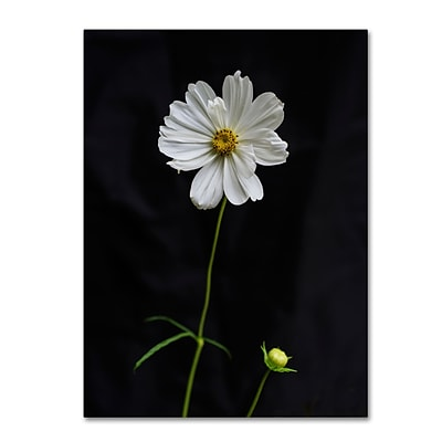 Trademark Fine Art Kurt Shaffer White Cosmos on Black 14 x 19 Canvas Stretched (190836008957)
