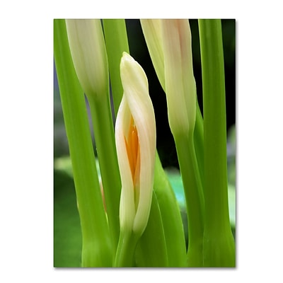 Trademark Fine Art Kurt Shaffer Lily Unfolding 14 x 19 Canvas Stretched (190836007233)
