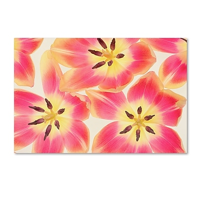Trademark Fine Art Cora Niele Cerise and Yellow Tulips 12 x 19 Canvas Stretched (190836256662)