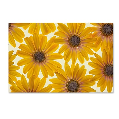 Trademark Fine Art Cora Niele Yellow Cape Daisies 12 x 19 Canvas Stretched (190836312320)